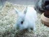 Coniglietto nano